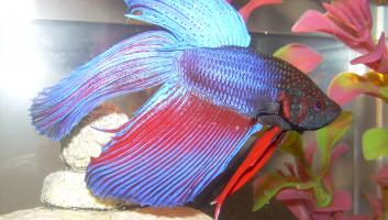 Betta splendens02 image
